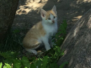Friendly and Beautiful orange and white female kitten