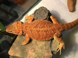 Orange/Red Bearded Dragon