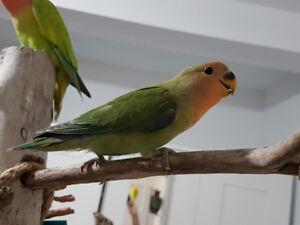 Lovebird baby. Very tame!