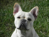 French Bulldog Puppies CKC registered to come!