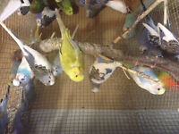 $10 Baby budgies/ many other birds