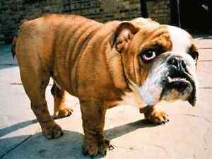 Looking for English Bulldog