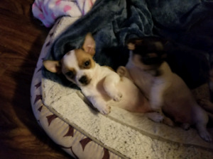 SOLD SOLD  Gorgeous Chihuahua pups ready to go January 9th SOLD