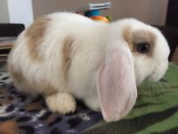 Mini lop extreme split