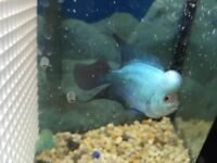 Flowerhorn 5 inch for $130 only!!!