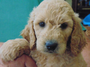 Doodle Pups | Kijiji in Ontario  - Buy, Sell & Save with