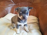 Blue Chihuahua (quick sale needed) £250