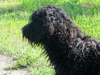 Only 1 Left !!  Hypoallergenic - low shedding Bernedoodle Pup