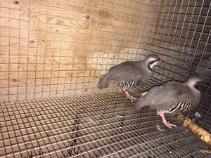 Chukar mating pair
