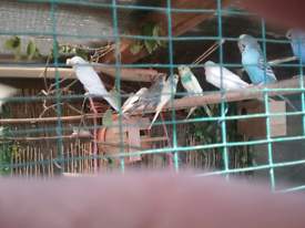 Birds for sale in Lincolnshire - Gumtree