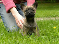 CAIRN TERRIER FEMALE PUPPY   CKC REG.