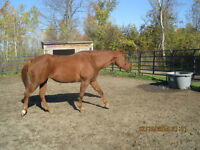 AQHA Registered 12 year old Sorrel mare