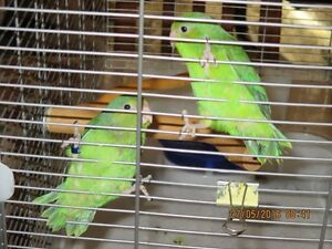 Young Green Parrotlets