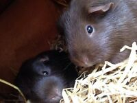 2x female guinea pigs and hutches for sale
