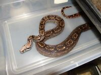 boas for sale (great deal)