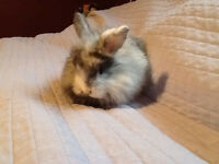 Adorable Angora Cross bunnies for sale.