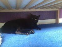 18 month black cat