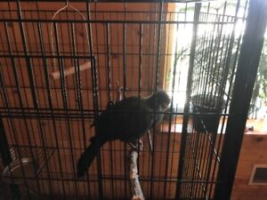 for sale white cheeked turaco
