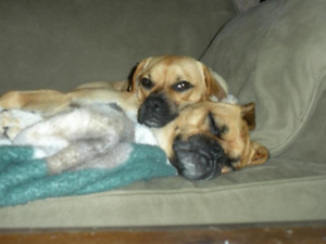 """Two lovely """"puggle"""" dogs, looking for a new home"""