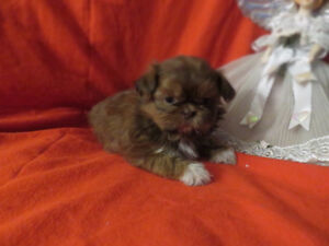 100% Teacup Shih-Tzu  pups. Vet Checked Healthy! Nonshedding!