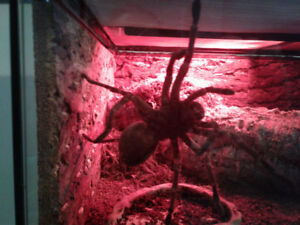 Goliath Bird Eater Tarantula. 9 Inch. (Theraphosa Blondi)