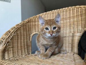Sweet orange kitten lost in Milton