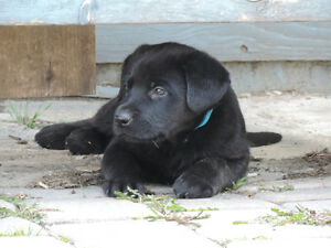 German Shepherd / Labrador puppies