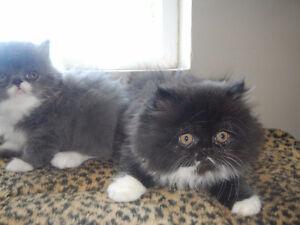Persian Boy Kitten ready to go..
