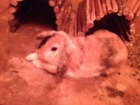 2 lop -eared rabbits for sale , one year old