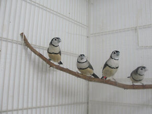 Owl finches for sale