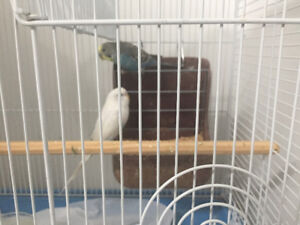 Budgies pair with cage food ect