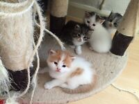 Chinchilla Persian kittens for sale