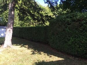 Professional hedge trimming and pruning Kingston Kingston Area image 2