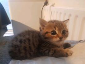 Himalayan persian kitten for sale