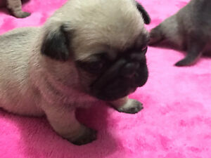 Purebred Fawn Pug Puppies