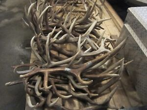 BUYING ALL NATURAL ANTLER SHEDS