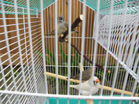 Zebra Finch with cage