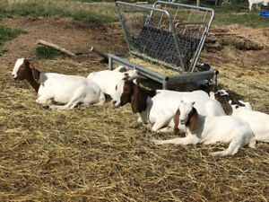 Small herd of young boer & boer/nubian goats for sale.