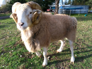 Ram, whether goat, nanny goat for sale