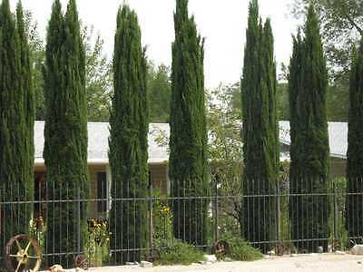 150+ FRESH Italian Cypress / Cupressus Sempervirens ...
