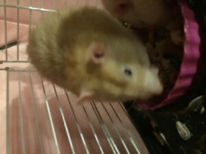 FREE 4 very loved rats for good home