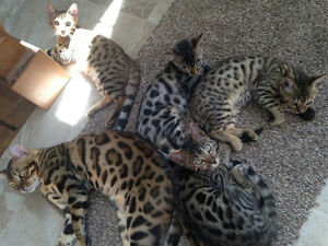 Bengal cat : reserved now your kitten Gatineau Ottawa / Gatineau Area image 8