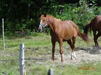 Cheval standarberd 9 ans