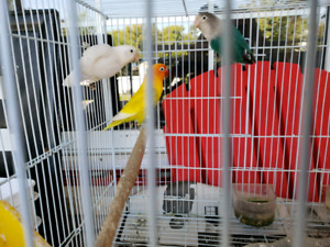 3 Fisher Lovebirds for Quick sale