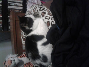 Missing black and white fluffy 9 month old cat