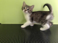 Female Spotted Tabby with white feet Ragdoll X Snowshoe X Maine