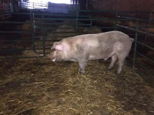Boar, sows and feeder pigs