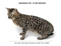 A1 SAVANNAH LINEAGE – F5 SBT SAVANNAH – BREEDER MALE