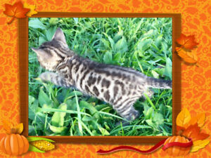 ⭐️  BENGAL  KITTENS  ⭐️  NEEDING  RESPONSIBLE  HOMES ⭐️