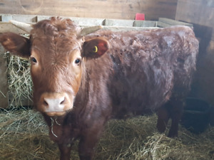 Beef Heifer